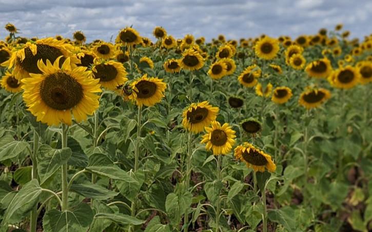 夏天到了,德州向日葵花纷纷绽放,这些花田必採点!