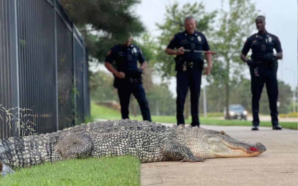 夏天脚步近!德州鱷鱼大摇大摆在路上逛街