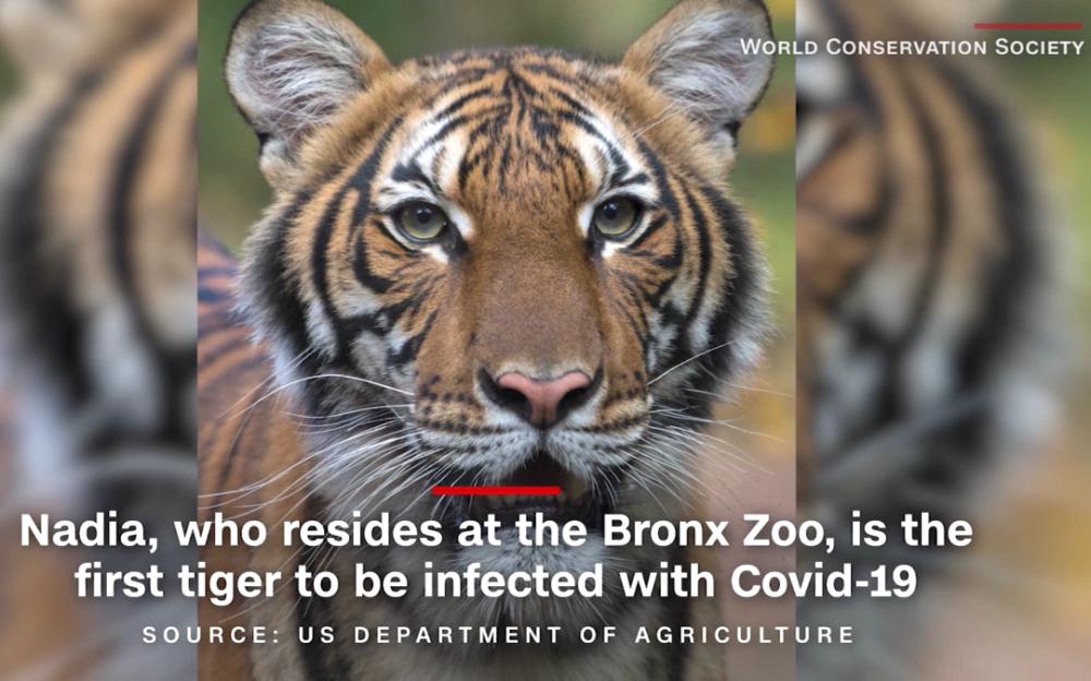 冠狀病毒太凶猛   可人傳動物   老虎成首位受害者
