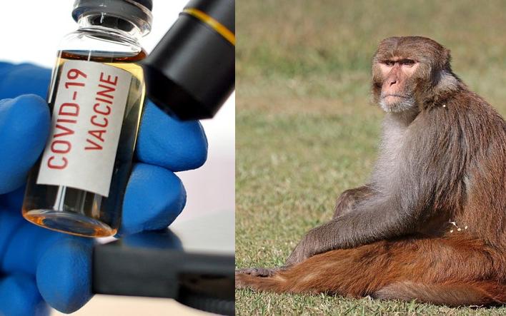 【噩耗】牛津大學接種冠狀病毒疫苗的猴子全部感染冠狀病毒  疫苗無效