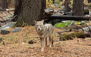 狼來了!生物學家:休士頓郊狼族群暴增