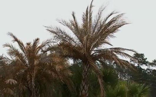 棕櫚樹、植物遭凍壞,德州人該怎麼辦?